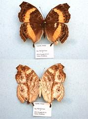 NW82-14 Junonia terea (nymsysgro) Tags: tanzania nymphalidae nymphalinae junonia terea junoniini