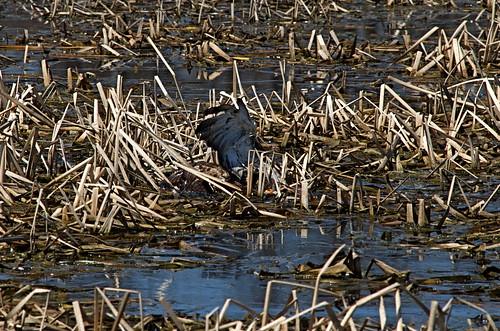 Floundering Hawk