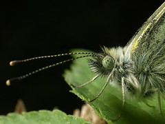 Green-veined White up close (Megashorts) Tags: uk white macro nature animal 35mm butterfly bug insect wildlife flash olympus creepy explore hamphire zuiko 2009 crawly greenveinedwhite e510 wickham zd fl36 pierisnapi offcamera 35mmmacro35 pm1 cb05 thegolden10 shootabootwinner