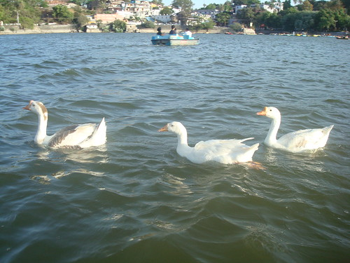 Ducks at Nakki Lake, Mt Abu
