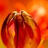 The heat is on (Mareky Prospekt) Tags: flowers fleurs blumen faded tulip artofimages bestcaptureaoi