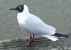 Cartoon Character (lisaluvz) Tags: sea black bird wall wales harbour wildlife gull side ceredigion headed aberaeron lisaluvz