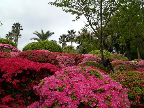 Japanische Azaleenblüte