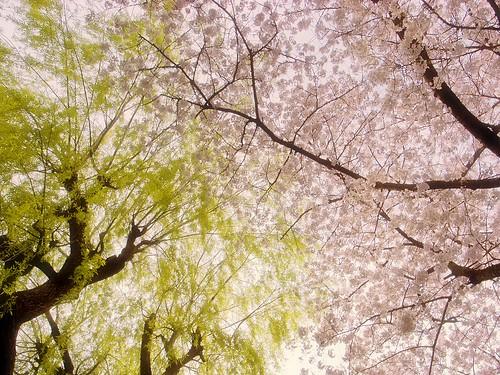 R1007098柳と桜