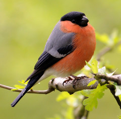 Male Bullfinch (earlyalan90 away awhile) Tags: naturesfinest specanimal platinumphoto platinumheartaward vosplusbellesphotos