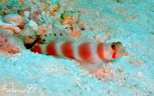 Pinkbar goby, Similan Islands