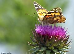 Un papillon, a trompe... (fabdebaz) Tags: macro mai papillon 09 distillery 2009 ariege insecte aficionados arige sudouest mazeres mazres k10d pentaxk10d justpentax collectionnerlevivantautrement vosplusbellesphotos