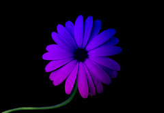 pink or purple (Mouin.M) Tags: lighting pink blue black flower macro green nature colors leaves stone photoshop stem flickr purple shot heart blossom couleurs background creative vert bloom colori core feuilles onblack tige noyau