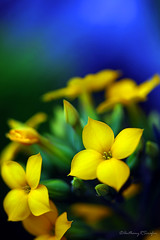 yellow bloom (anthonyserafin) Tags: