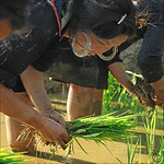 Rice = Food = Life