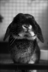 DSC_0061 (rabbitier) Tags: rabbit bunny nikon fluffy lapin usagi hollandlop うさぎ 兎 d90 blackotter