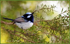 Superb Fairy Wren  Male  (Malurus cyaneus) 03996 (SillyOldBugger (in and out of internet range)) Tags: wild australia queensland naturesfinest superbfairywren maluruscyaneus avianexcellence vosplusbellesphotos sonydslra200maluruscyaneus kingaroybird
