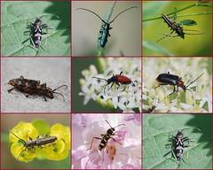 Cerambycidae (Le pot-ager) Tags: animaux insectes mosaïque cerambycidae coléoptères collectionnerlevivantautrement