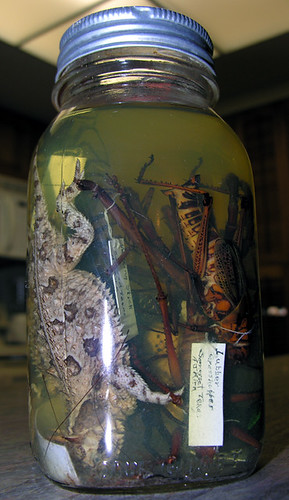 BONELUST - Dad's Pickled Jar of Texas Creatures from 1950: Texas Horned Lizard, Giant Lubber Grasshopper, Giant Walking Stick, Giant Centipede