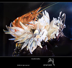 profondita_marine (amaranth_) Tags: art water illustration painting creativity graffiti design paint mare blu anemone acqua nero animale amaranth photorealism iperrealismo gambero acquarello profondit pastello crostaceo trasparents