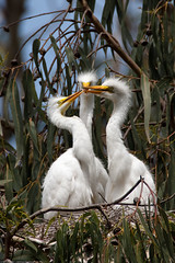 4 of 6 Great Egret (Ardea alba) nest with three chicks at the Morro Bay Heron Rookery (mikebaird) Tags: baby bird birds bay nest alba postcard great birding aves ardea montanadeoro chicks morrobay egret morro greategret rookery dorian birdwatcher babybirds ardeaalba bairdphotoscom slbbrooding michaellbaird 09june2009 mdopostcard nestingbirds4andrew