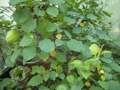 Quelques feuilles jaunes sur le malus everest 3643834795_7d9825c64c