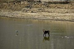 Pushkar sarowar - Dog and bird (Sapna Kapoor) Tags: india pushkar rajasthan sarowar
