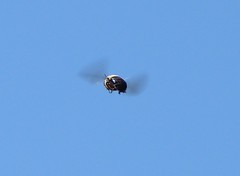 A Bumble Bee flying away from me (Joseph Hollick) Tags: bumblebee rbg flying midair burlington royalbotanicalgardens bee smileonsaturday beeautiful