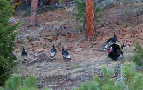 A group of hen turkeys ignore a male turkey intent on their attention.