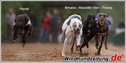 Greyhound - Finale Hündinnen 280 m - Sandbahnmeister Münster