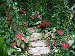 Caladium Alley! Dramatic caladium lines stone path through shade garden (pawightm (Patricia)) Tags: austin texas impatiens lamium texashillcountry shadegarden centraltexas caladiums backyardborder pinkimpatiens mayblooms whiteimpatiens caladiumwhitequeen colorfulfoliage nativestonepath caladiumaaron caladiumcarolynwhorton caladiumfriedahemple ss858035