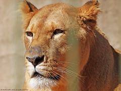 Felino (Giancarlos F. Martins) Tags: zoo leo zoolgico gian sh leoa panthera mamfero pantheraleo carnvoro theria zoolgicodeamericana giancarlos parqueecolgicodeamericana feloidea lumixfz40