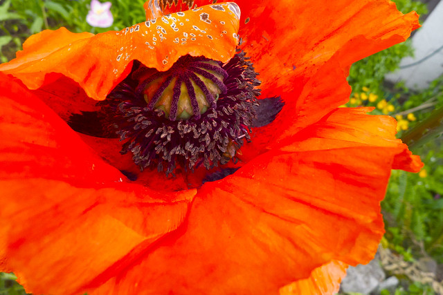 Mammouth Poppy ~ Bee Bottom