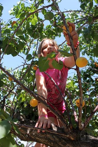 apricot fairy