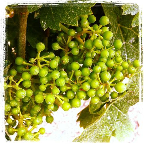 xjune 28 grapes