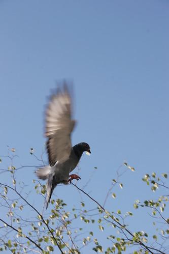 1er_octobre_pigeoncolombe_2767