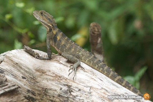 Eastern water dragon (Physignathus lesueurii lesueurii)