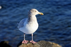 Gull posing (*Michelle*(meechelle)) Tags: ocean friends sea bird ma searchthebest seagull gull salem 1001nights bllue winterisland naturesfinest blueribbonwinner supershot masterphotos golddragon mywinners platinumphoto anawesomeshot isawyoufirst theunforgettablepictures newacademy goldstaraward micarttttworldphotographyawards
