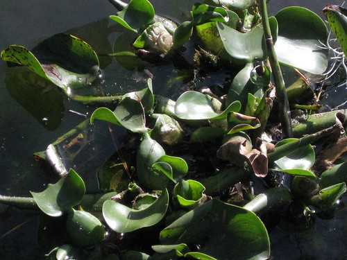 waterhyacinth2.jpg