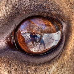 Elk eye view (vidular) Tags: shadow selfportrait reflection eye nature animal closeup reflections nikon karma elk lightroom d80 bej akob platinumphoto karmanominated 1on1reflections