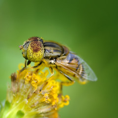 Yellow Eyes (anjur) Tags: flower macro nature yellow fauna insect fly eyes nikon d300 105mm naturesfinest explored specinsect macromarvels trueessence ahqmacro macrosdenaturaleza sigma105mmexdgf28 notyournormalbug bestmacrosoftheworld