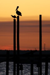 IMG_1328 (Jessica Whittle Photography) Tags: sunset pelicans piers pace