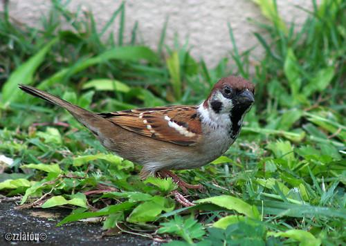 Ciak Rumah  @ Eurasian Tree Sparrow