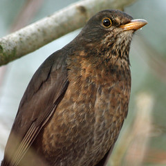 Modelling assignment - Turdus merula portrait (View Large) (Mukumbura) Tags: portrait bird closeup garden outdoors wildlife turdusmerula blackbird blueribbonwinner headshoulders abigfave theperfectphotographer modellingassignment