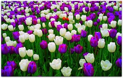 campo fiorito (carlini.sonia) Tags: world flowers red white plant verde green nature colors garden photo europa flickr foto tulips image violet natura petal netherland click sonia terra fiore piante viola turismo rosso petali colori prato bianco viaggio olanda giardino tulipano mondo immagine viaggiare aiuola naturemasterclas
