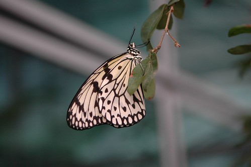 Butterfly clinging onto a leaf (by autumn_leaf)