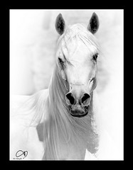 Arabian Beauty (AL-Tubaiykh) Tags: art canon wow caballo photo amazing photos cannon kuwait uc camra photo
