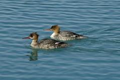 The ladies (violetflm) Tags: bird water duck native d2x il montrose merganser redbreastedmerganser cf23898