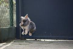 Jump for joy (jpockele) Tags: rabbit bunny bunnies konijn rabbits jumpforjoy freggel vreugdesprong