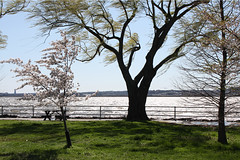 Hains Point Trees (Mr.TinDC) Tags: trees washingtondc dc wind windy rivers dcist potomac cherryblossoms potomacriver cherrytrees eastpotomacpark willowtrees weepingwillows hainspoint