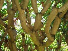 Dragon's blood tree (Figgles1) Tags: tree heritage blood dragons australia nationaltrust westernaustralia dragonsblood wonnerup wonneruphouse p4051038