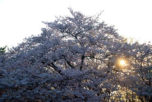 Sakura in Yoyogi 07
