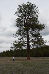 Huge Tree (Dbennison) Tags: canada tree big bc da huge cranbrook f28 hugetree 1650mm
