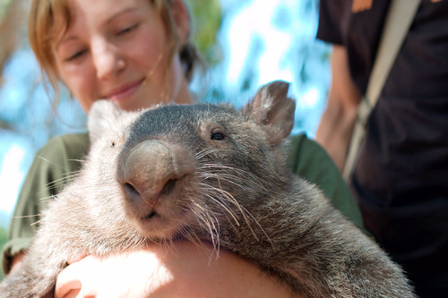 Wombat at the Billabong Sanctuary