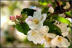 Apfelbten (LETHO 2706) Tags: pink white blossom rosa blte weiss picnik apfelblten appelblossom rosengewchs bysne